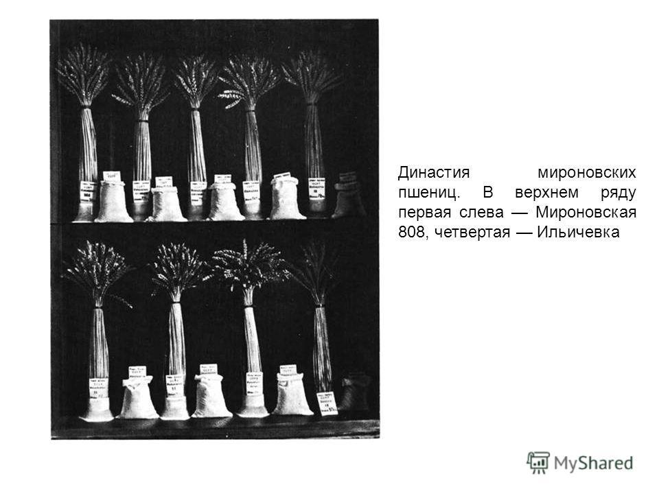 Династия мироновских пшениц. В верхнем ряду первая слева Мироновская 808, четвертая Ильичевка