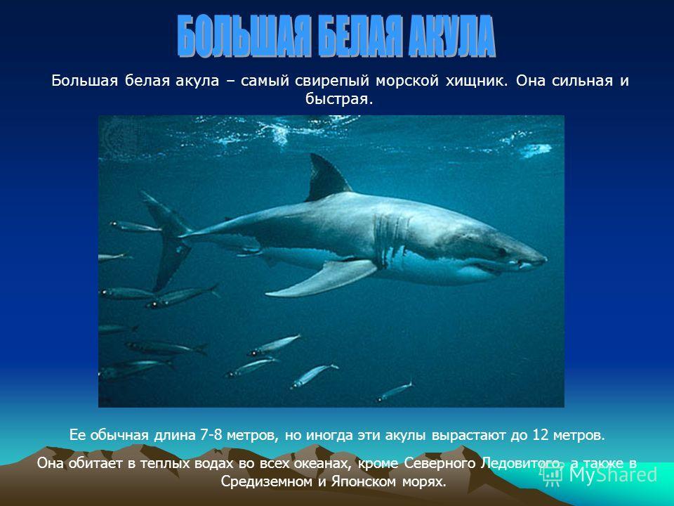 Большая белая акула – самый свирепый морской хищник. Она сильная и быстрая. Ее обычная длина 7-8 метров, но иногда эти акулы вырастают до 12 метров. Она обитает в теплых водах во всех океанах, кроме Северного Ледовитого, а также в Средиземном и Японс