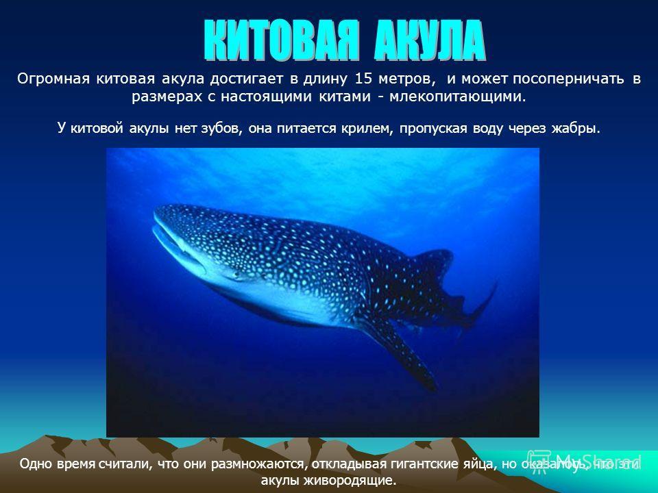 Огромная китовая акула достигает в длину 15 метров, и может посоперничать в размерах с настоящими китами - млекопитающими. У китовой акулы нет зубов, она питается крилем, пропуская воду через жабры. Одно время считали, что они размножаются, откладыва