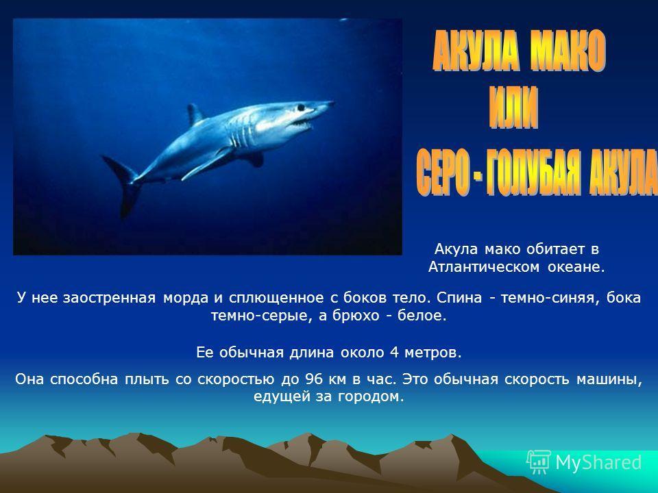 Акула мако обитает в Атлантическом океане. Ее обычная длина около 4 метров. Она способна плыть со скоростью до 96 км в час. Это обычная скорость машины, едущей за городом. У нее заостренная морда и сплющенное с боков тело. Спина - темно-синяя, бока т