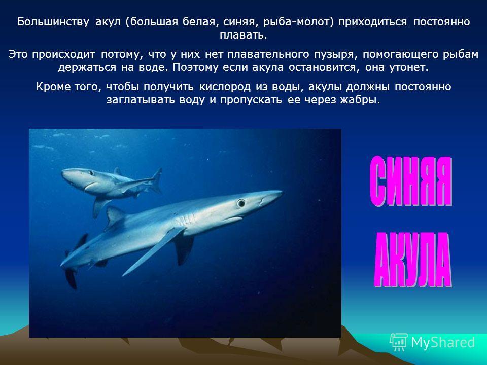 Большинству акул (большая белая, синяя, рыба-молот) приходиться постоянно плавать. Это происходит потому, что у них нет плавательного пузыря, помогающего рыбам держаться на воде. Поэтому если акула остановится, она утонет. Кроме того, чтобы получить