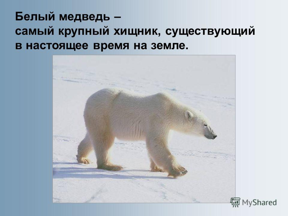 Белый медведь – самый крупный хищник, существующий в настоящее время на земле.