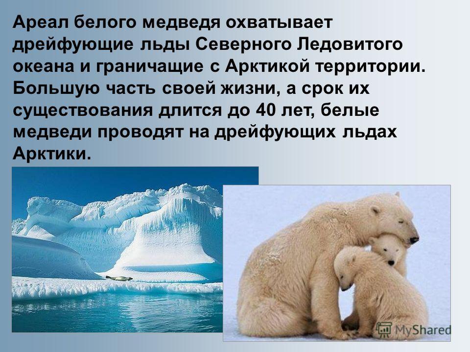 Ареал белого медведя охватывает дрейфующие льды Северного Ледовитого океана и граничащие с Арктикой территории. Большую часть своей жизни, а срок их существования длится до 40 лет, белые медведи проводят на дрейфующих льдах Арктики.