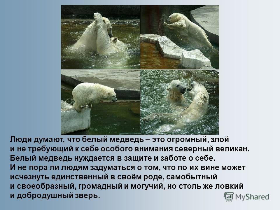 Люди думают, что белый медведь – это огромный, злой и не требующий к себе особого внимания северный великан. Белый медведь нуждается в защите и заботе о себе. И не пора ли людям задуматься о том, что по их вине может исчезнуть единственный в своём ро