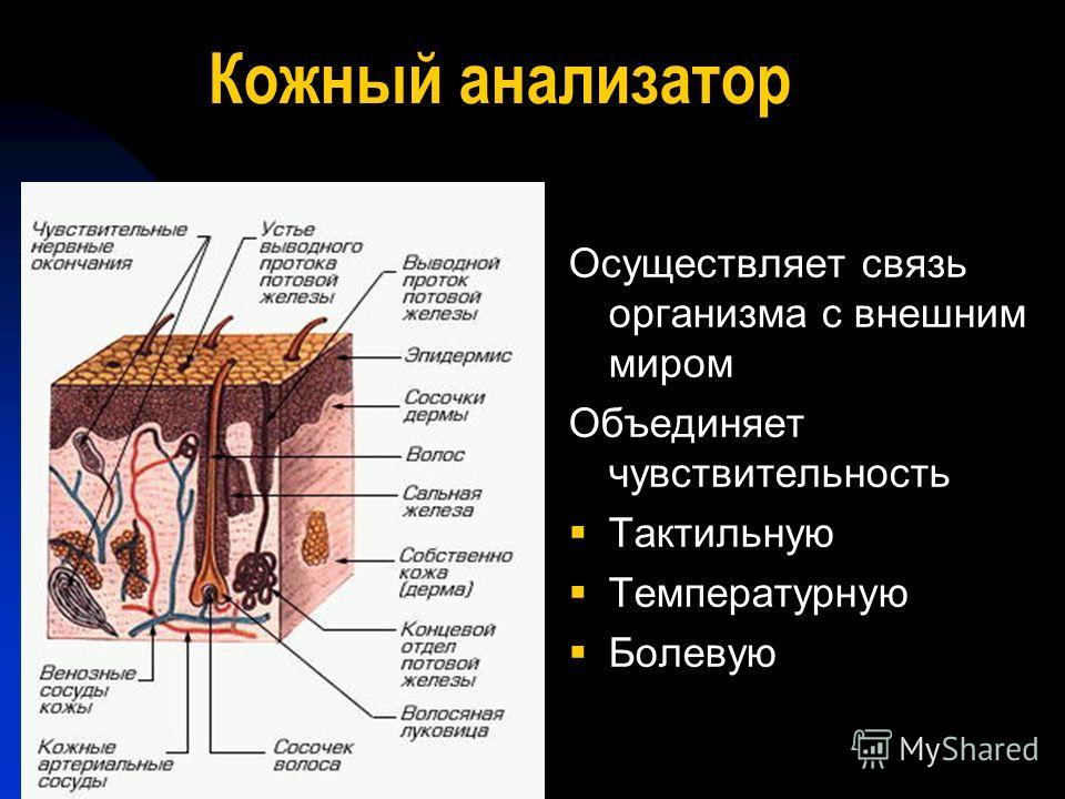 Кожный анализатор Осуществляет связь организма с внешним миром Объединяет чувствительность Тактильную Температурную Болевую