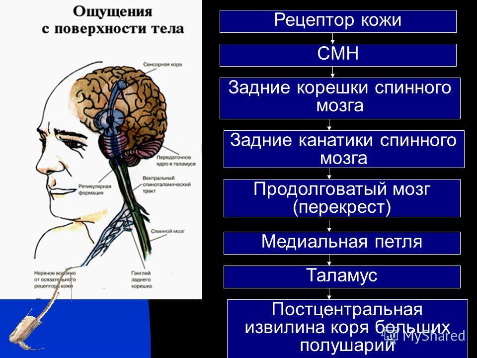 Рецептор кожи СМН Задние корешки спинного мозга Задние канатики спинного мозга Продолговатый мозг (перекрест) Медиальная петля Таламус Постцентральная извилина коря больших полушарий
