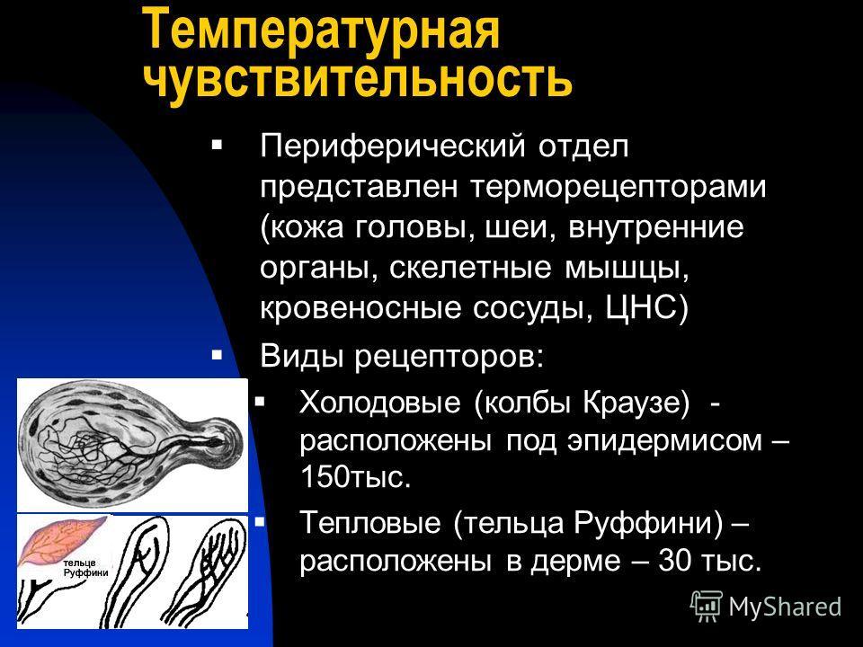 Температурная чувствительность Периферический отдел представлен терморецепторами (кожа головы, шеи, внутренние органы, скелетные мышцы, кровеносные сосуды, ЦНС) Виды рецепторов: Холодовые (колбы Краузе) - расположены под эпидермисом – 150тыс. Тепловы