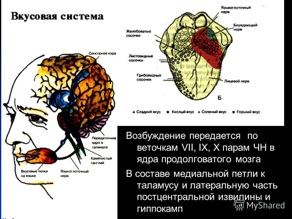 Возбуждение передается по веточкам VII, IX, X парам ЧН в ядра продолговатого мозга В составе медиальной петли к таламусу и латеральную часть постцентральной извилины и гиппокамп