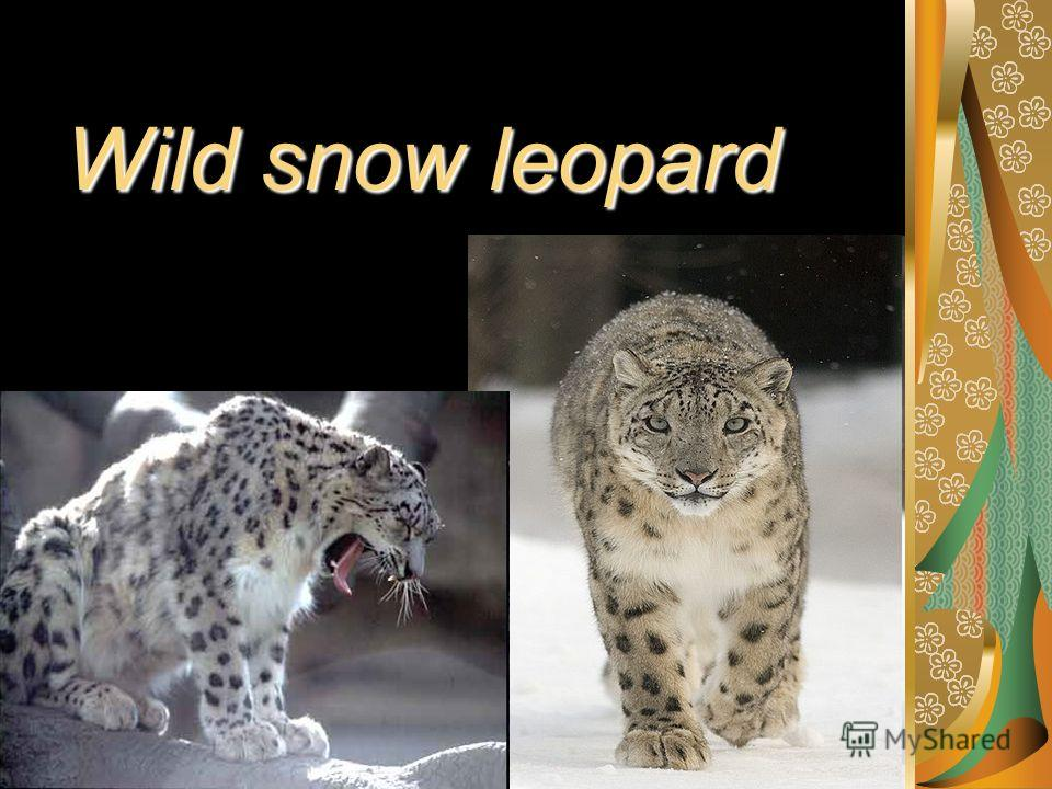 Wild snow leopard