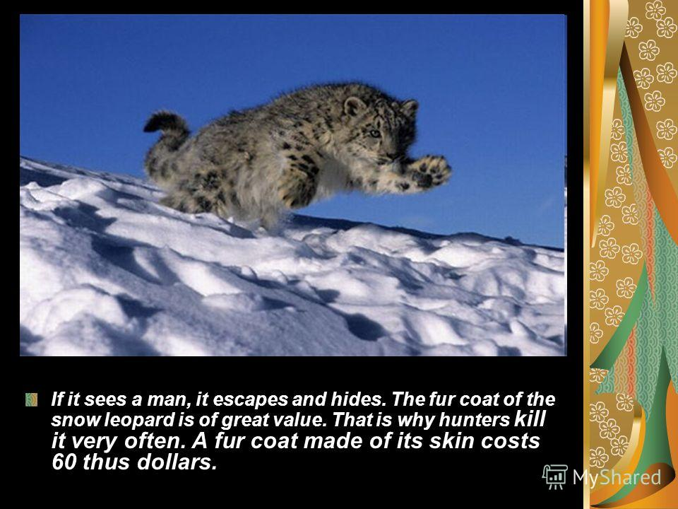 If it sees a man, it escapes and hides. The fur coat of the snow leopard is of great value. That is why hunters kill it very often. A fur coat made of its skin costs 60 thus dollars.
