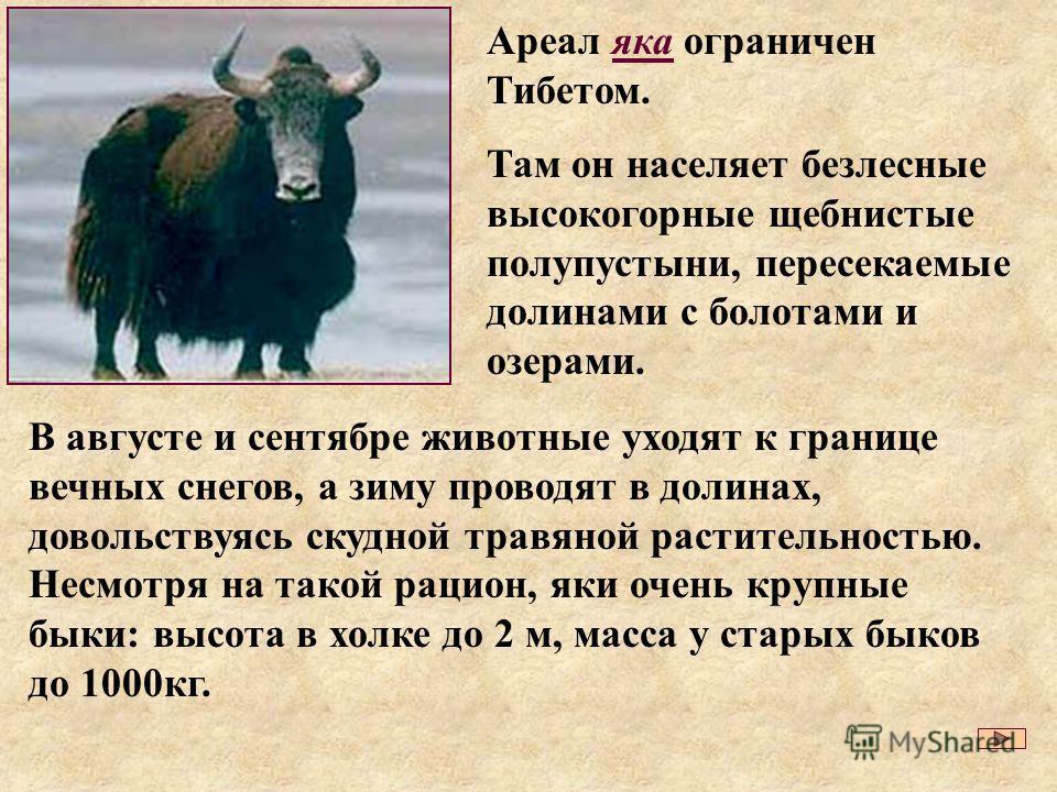 В августе и сентябре животные уходят к границе вечных снегов, а зиму проводят в долинах, довольствуясь скудной травяной растительностью. Несмотря на такой рацион, яки очень крупные быки: высота в холке до 2 м, масса у старых быков до 1000кг. Ареал як