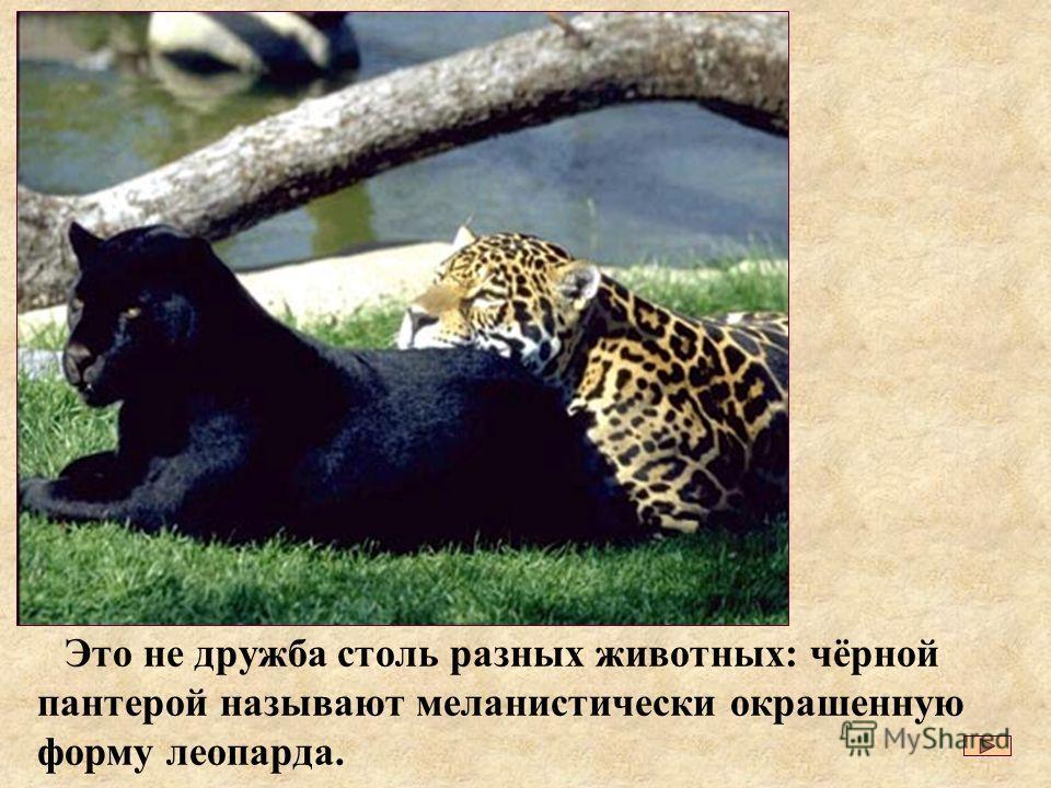 Это не дружба столь разных животных: чёрной пантерой называют меланистически окрашенную форму леопарда.