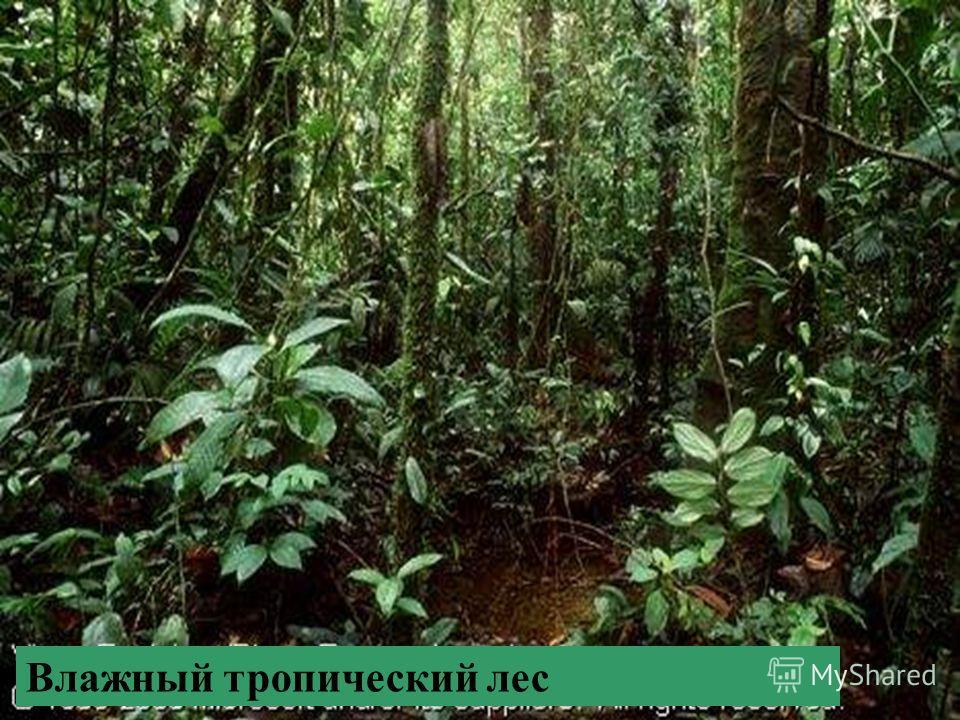 Место обитания этих животных -… Можете ли вы назвать других животных – обитателей тропического пояса? А эндемиков Азии? Влажный тропический лес