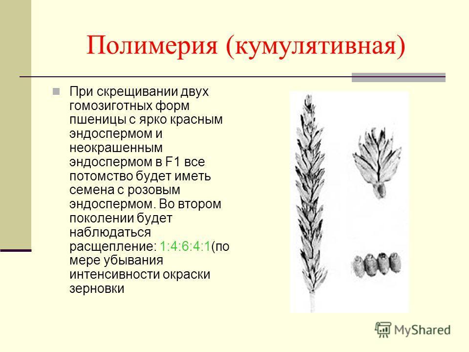 Полимерия (кумулятивная) При скрещивании двух гомозиготных форм пшеницы с ярко красным эндоспермом и неокрашенным эндоспермом в F1 все потомство будет иметь семена с розовым эндоспермом. Во втором поколении будет наблюдаться расщепление: 1:4:6:4:1(по