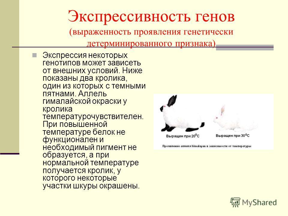 Экспрессивность генов (выраженность проявления генетически детерминированного признака) Экспрессия некоторых генотипов может зависеть от внешних условий. Ниже показаны два кролика, один из которых с темными пятнами. Аллель гималайской окраски у кроли