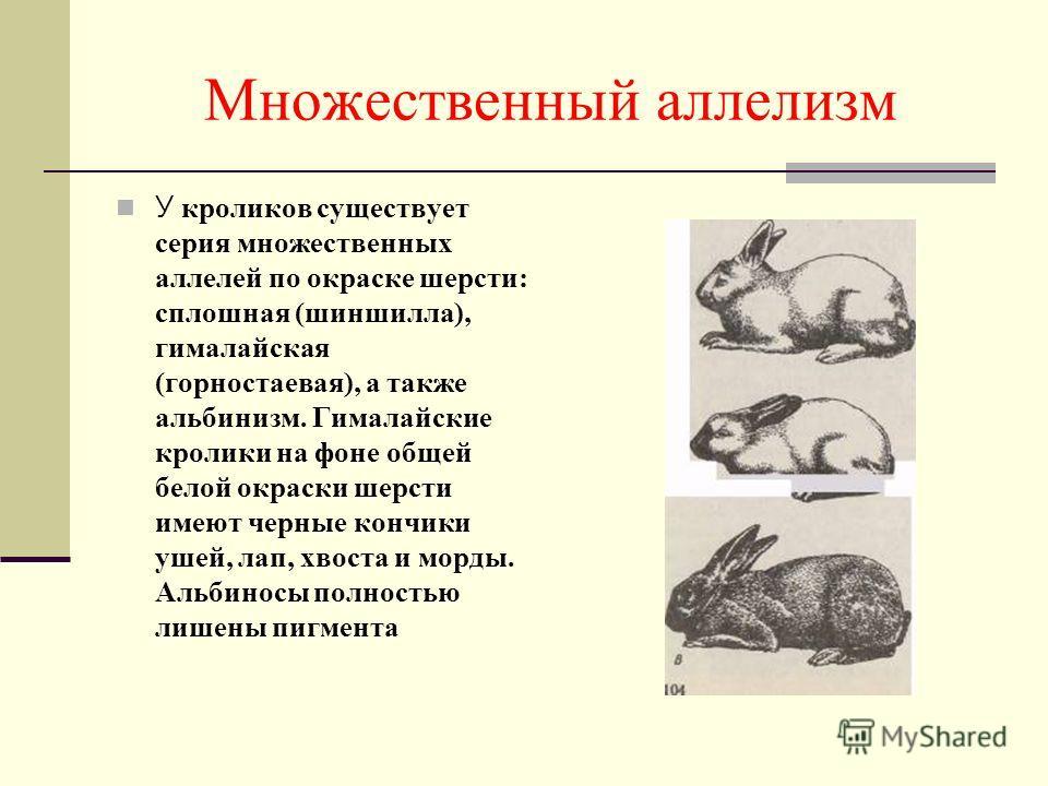 Множественный аллелизм У кроликов существует серия множественных аллелей по окраске шерсти: сплошная (шиншилла), гималайская (горностаевая), а также альбинизм. Гималайские кролики на фоне общей белой окраски шерсти имеют черные кончики ушей, лап, хво