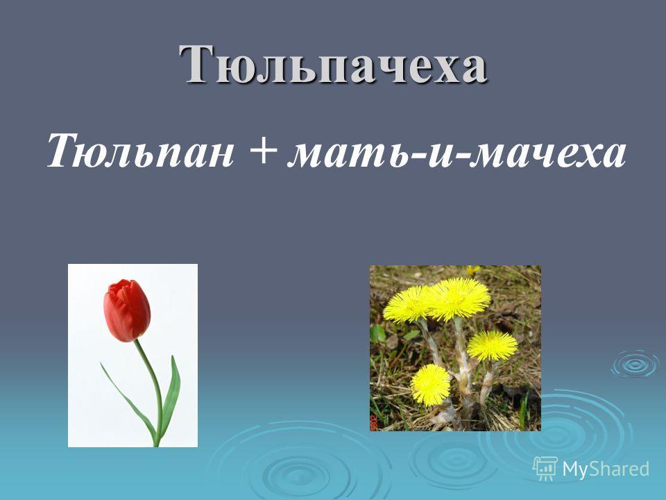 Мимозгаритка Мимоза + маргаритка