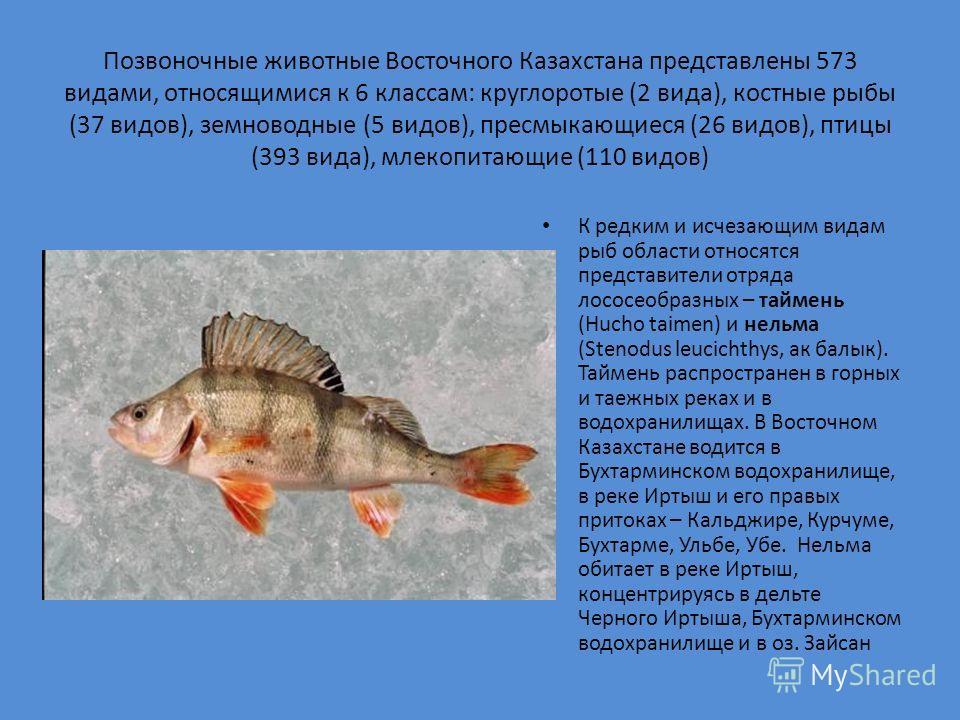 Позвоночные животные Восточного Казахстана представлены 573 видами, относящимися к 6 классам: круглоротые (2 вида), костные рыбы (37 видов), земноводные (5 видов), пресмыкающиеся (26 видов), птицы (393 вида), млекопитающие (110 видов) К редким и исче