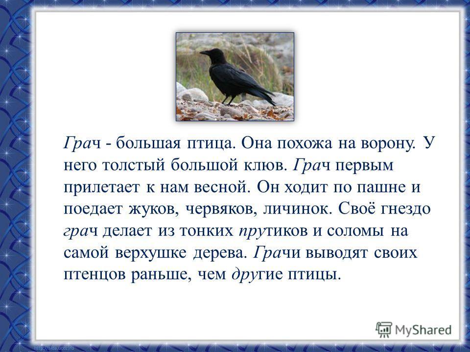 Грач - большая птица. Она похожа на ворону. У него толстый большой клюв. Грач первым прилетает к нам весной. Он ходит по пашне и поедает жуков, червяков, личинок. Своё гнездо грач делает из тонких прутиков и соломы на самой верхушке дерева. Грачи выв