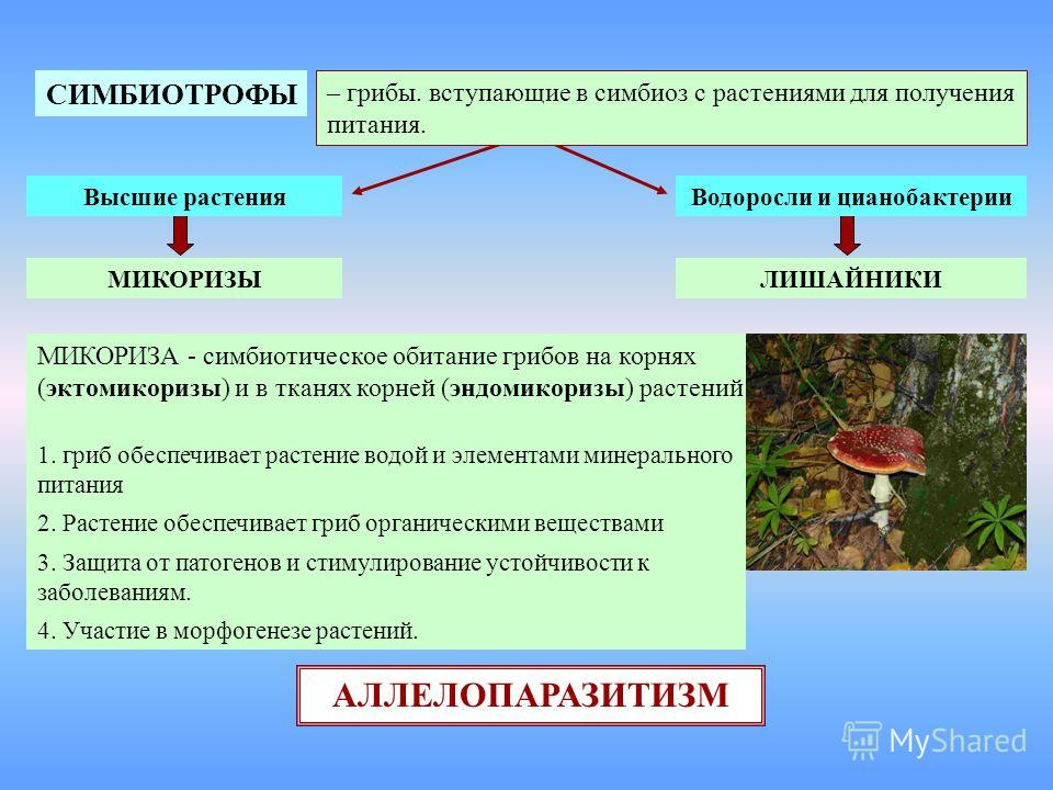 СИМБИОТРОФЫ – грибы. вступающие в симбиоз с растениями для получения питания. Высшие растенияВодоросли и цианобактерии ЛИШАЙНИКИМИКОРИЗЫ МИКОРИЗА - симбиотическое обитание грибов на корнях (эктомикоризы) и в тканях корней (эндомикоризы) растений 1. г
