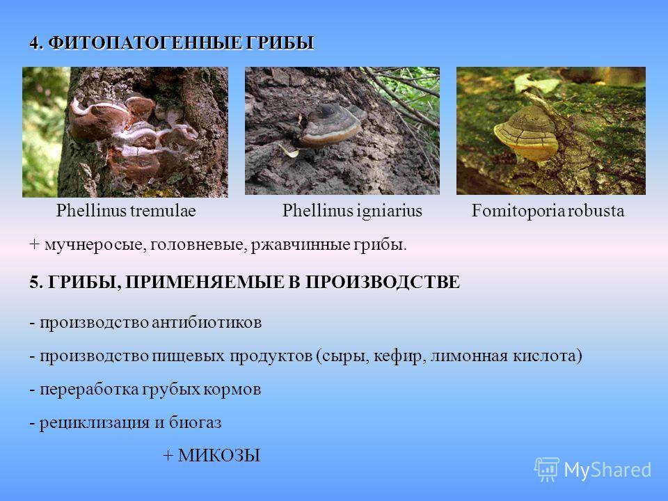 4. ФИТОПАТОГЕННЫЕ ГРИБЫ Phellinus tremulae Phellinus igniarius Fomitoporia robusta + мучнеросые, головневые, ржавчинные грибы. 5. ГРИБЫ, ПРИМЕНЯЕМЫЕ В ПРОИЗВОДСТВЕ - производство антибиотиков - производство пищевых продуктов (сыры, кефир, лимонная ки