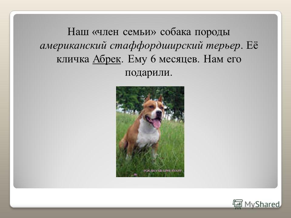 Наш «член семьи» собака породы американский стаффордширский терьер. Её кличка Абрек. Ему 6 месяцев. Нам его подарили.