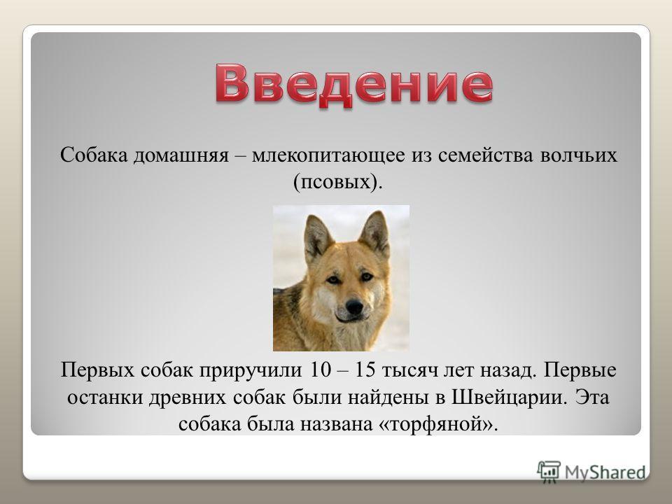 Собака домашняя – млекопитающее из семейства волчьих (псовых). Первых собак приручили 10 – 15 тысяч лет назад. Первые останки древних собак были найдены в Швейцарии. Эта собака была названа «торфяной».