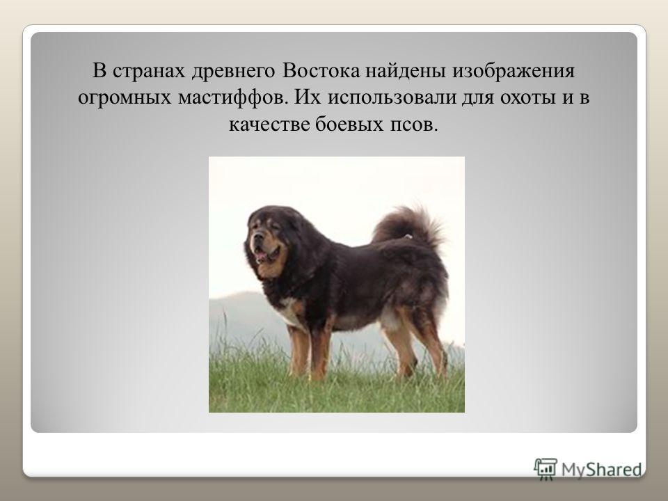 В странах древнего Востока найдены изображения огромных мастиффов. Их использовали для охоты и в качестве боевых псов.