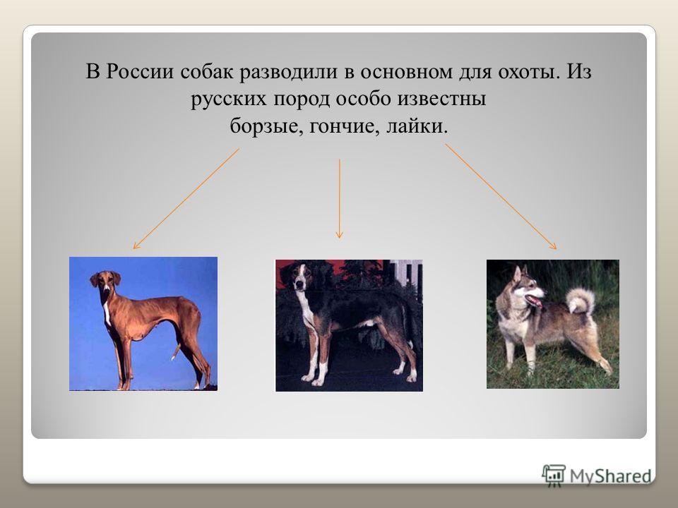 В России собак разводили в основном для охоты. Из русских пород особо известны борзые, гончие, лайки.