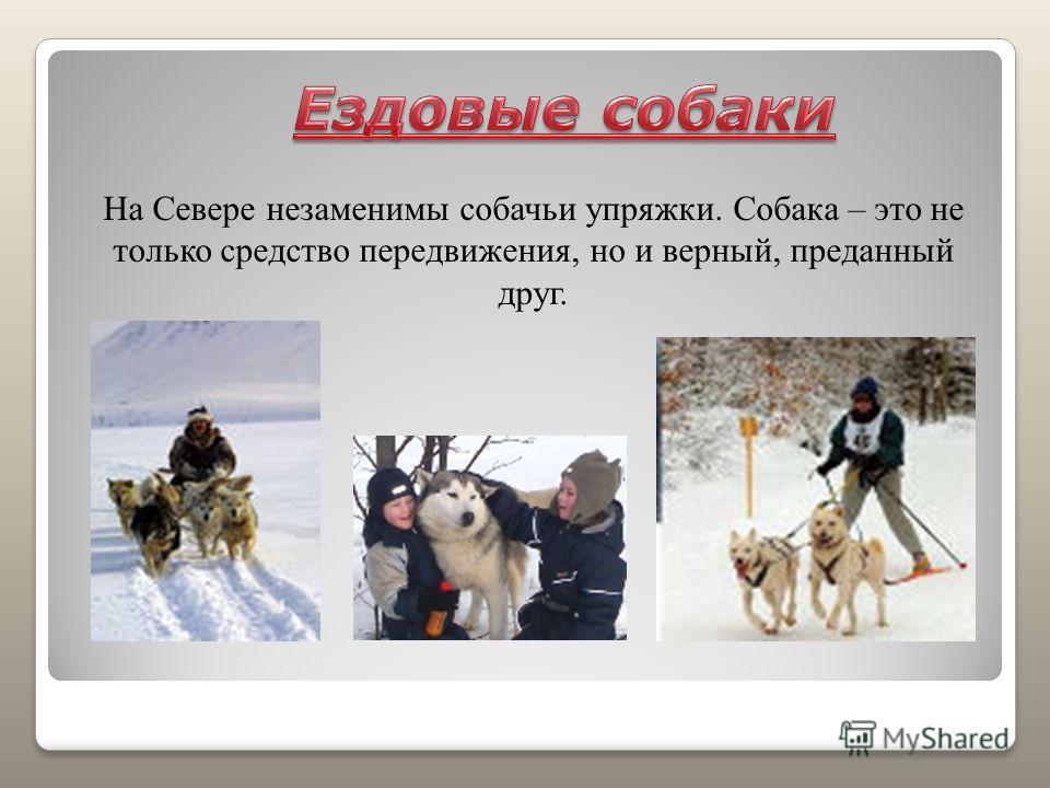 На Севере незаменимы собачьи упряжки. Собака – это не только средство передвижения, но и верный, преданный друг.