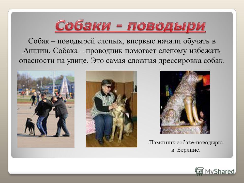 Собак – поводырей слепых, впервые начали обучать в Англии. Собака – проводник помогает слепому избежать опасности на улице. Это самая сложная дрессировка собак. Памятник собаке-поводырю в Берлине.