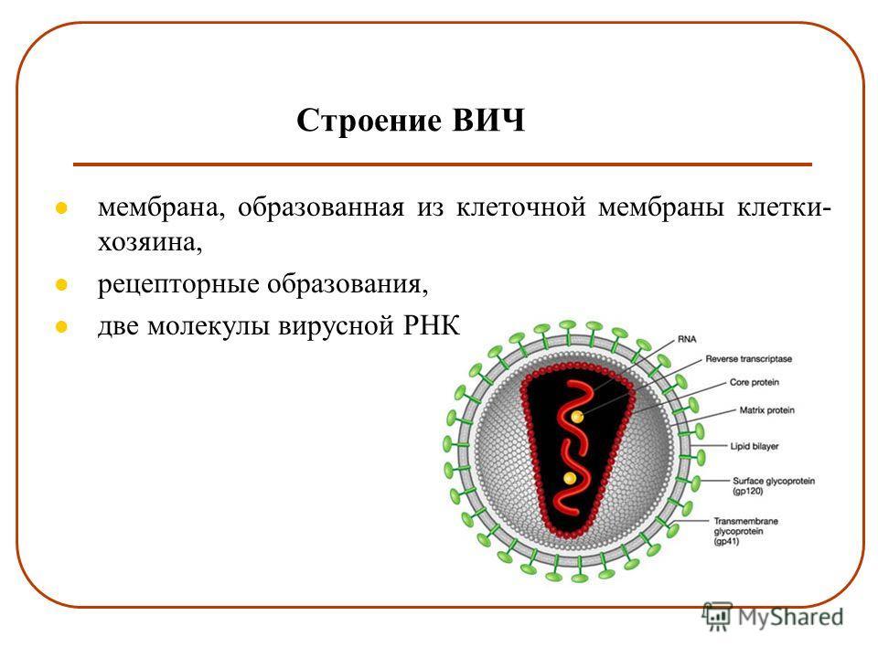 Строение ВИЧ мембрана, образованная из клеточной мембраны клетки- хозяина, рецепторные образования, две молекулы вирусной РНК