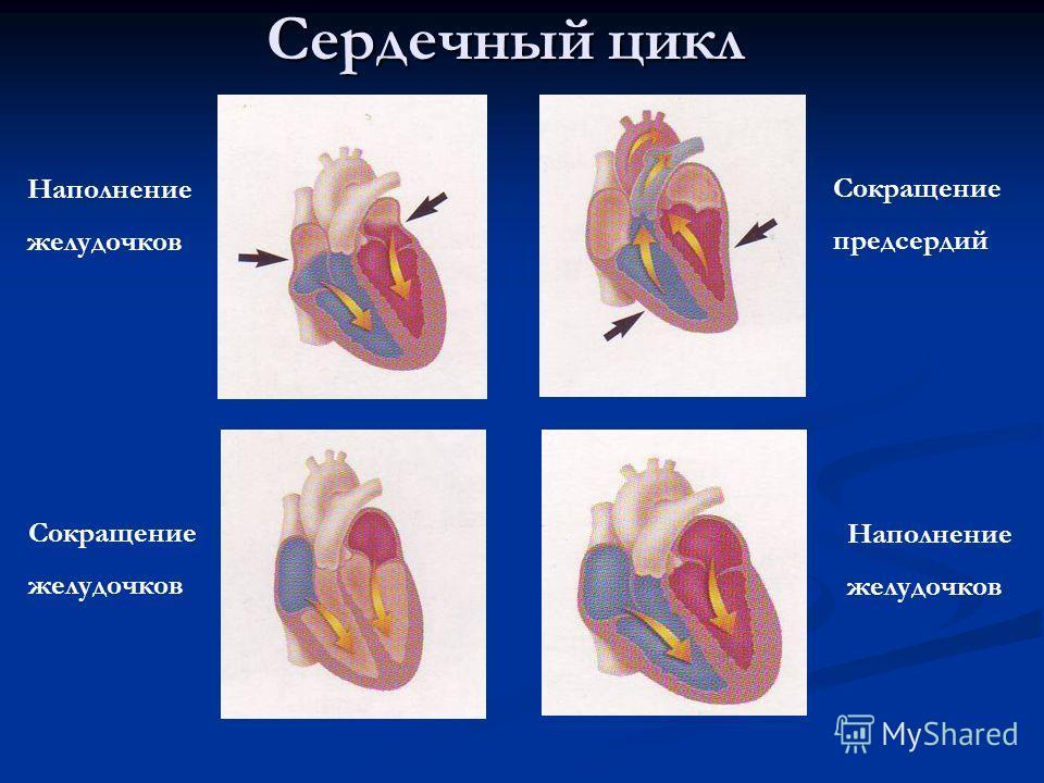 Сердечный цикл Сокращение предсердий Сокращение желудочков Наполнение желудочков Наполнение желудочков