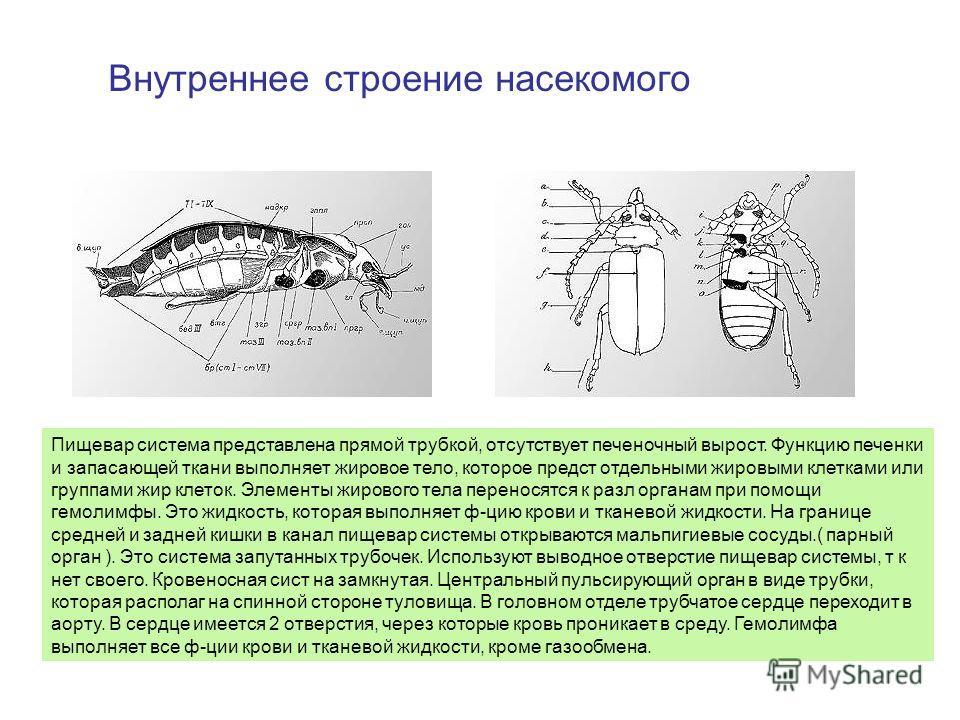 Внутреннее строение насекомого Пищевар система представлена прямой трубкой, отсутствует печеночный вырост. Функцию печенки и запасающей ткани выполняет жировое тело, которое предст отдельными жировыми клетками или группами жир клеток. Элементы жирово