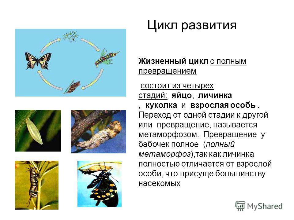 Цикл развития Жизненный цикл с полным превращением состоит из четырех стадий: яйцо, личинка, куколка и взрослая особь. Переход от одной стадии к другой или превращение, называется метаморфозом. Превращение у бабочек полное (полный метаморфоз),так как