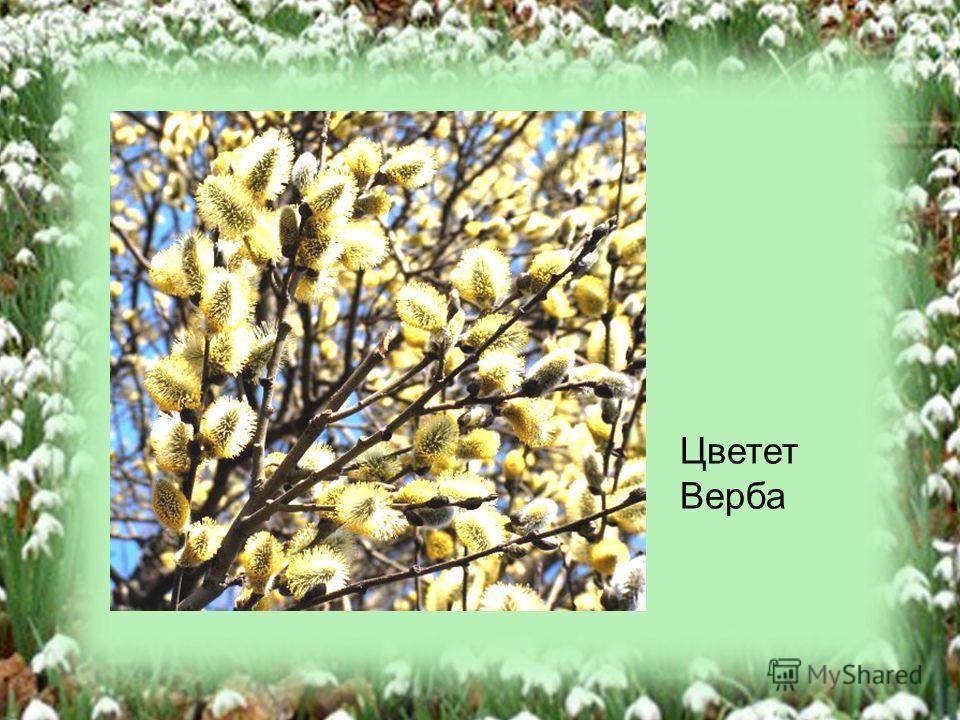 Цветет Верба
