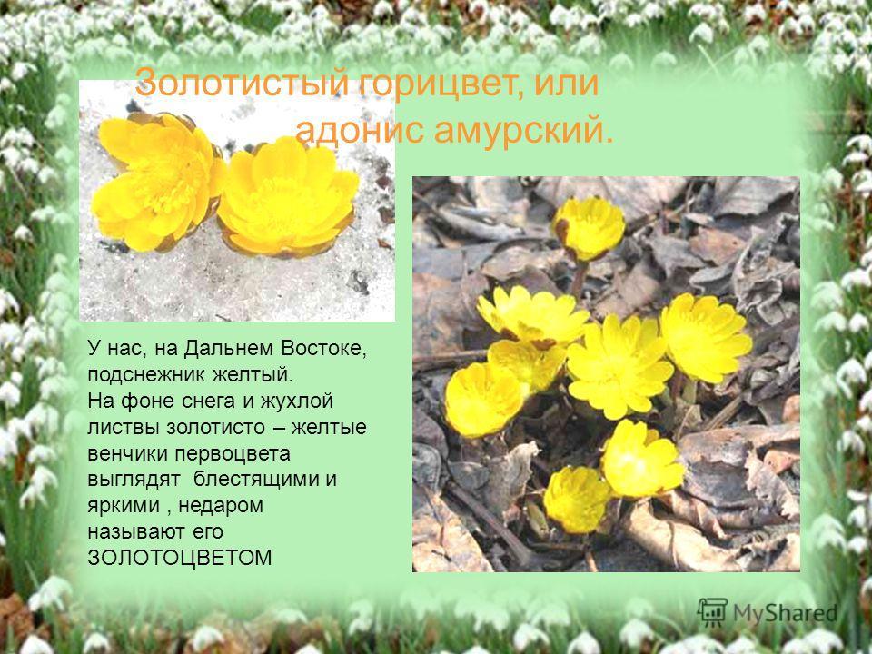 У нас, на Дальнем Востоке, подснежник желтый. На фоне снега и жухлой листвы золотисто – желтые венчики первоцвета выглядят блестящими и яркими, недаром называют его ЗОЛОТОЦВЕТОМ Золотистый горицвет, или адонис амурский.