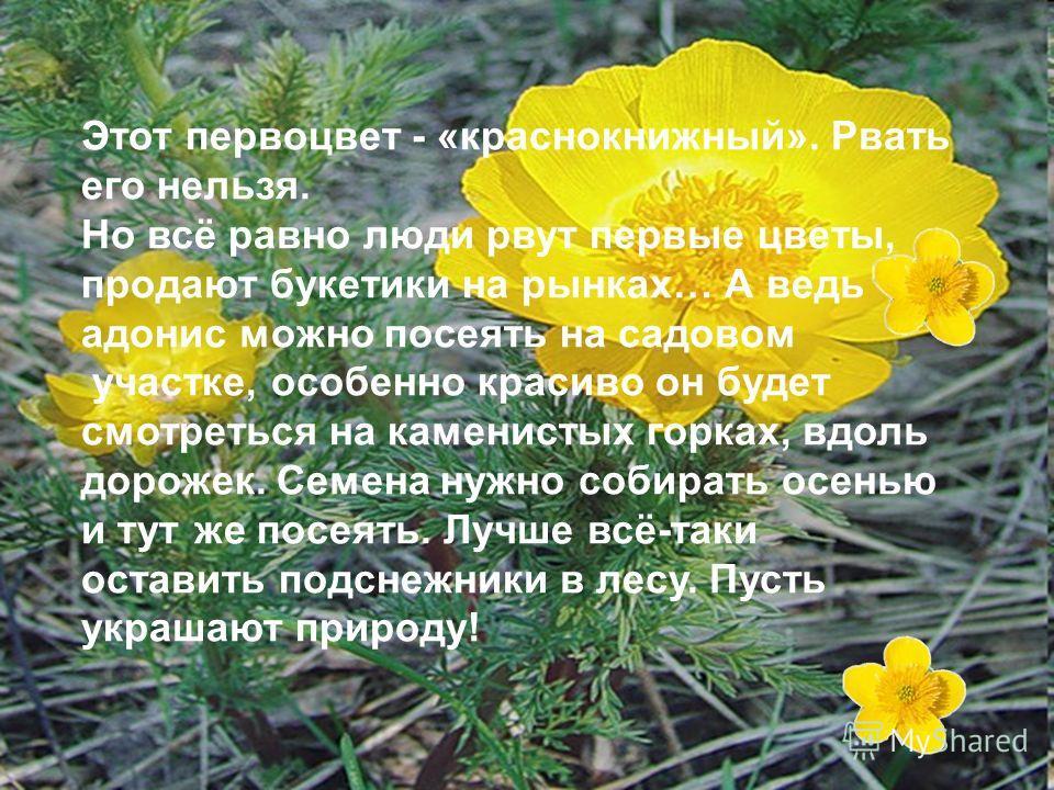 Этот первоцвет - «краснокнижный». Рвать его нельзя. Но всё равно люди рвут первые цветы, продают букетики на рынках… А ведь адонис можно посеять на садовом участке, особенно красиво он будет смотреться на каменистых горках, вдоль дорожек. Семена нужн
