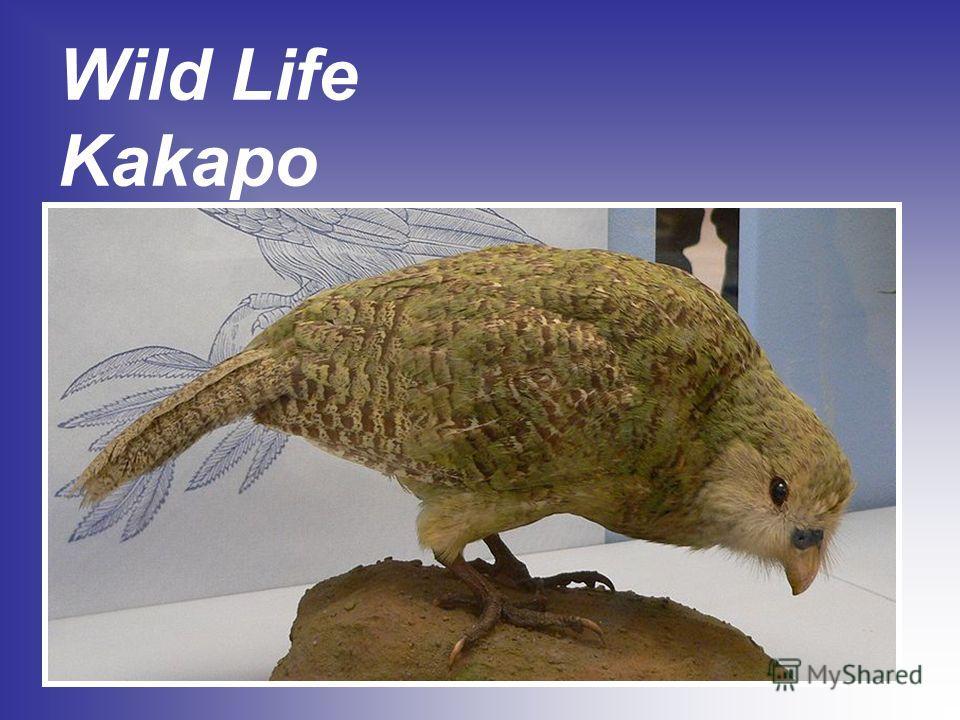 Wild Life Kakapo