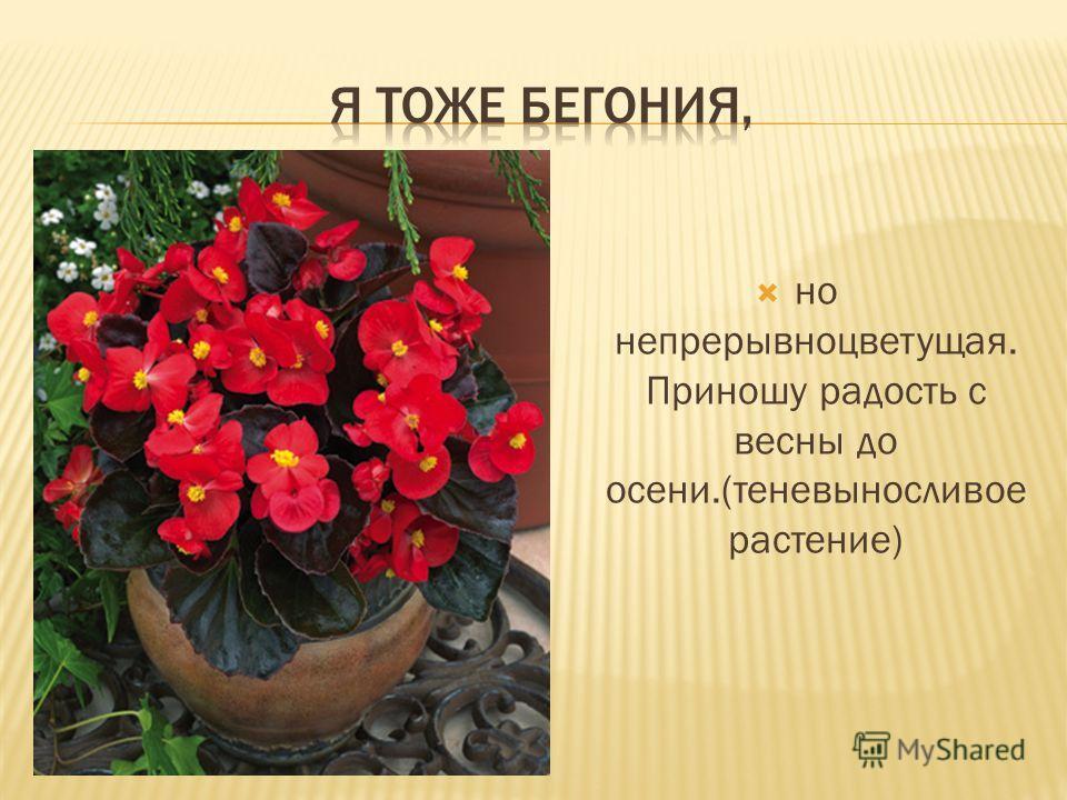но непрерывноцветущая. Приношу радость с весны до осени.(теневыносливое растение)