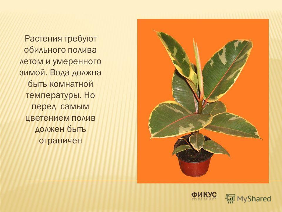 Растения требуют обильного полива летом и умеренного зимой. Вода должна быть комнатной температуры. Но перед самым цветением полив должен быть ограничен
