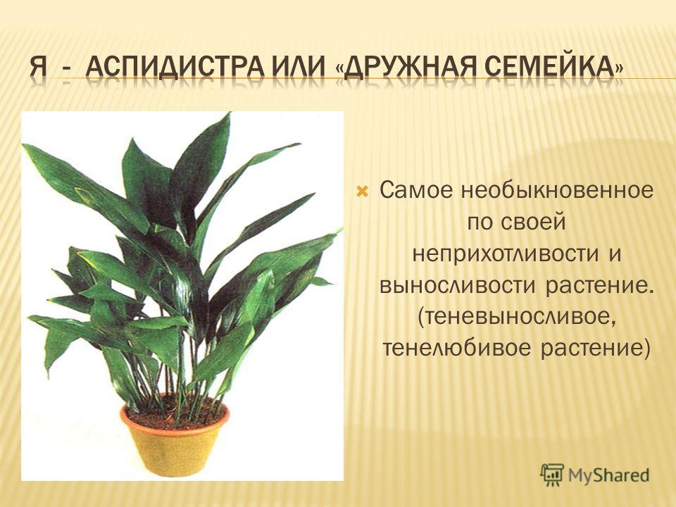 Самое необыкновенное по своей неприхотливости и выносливости растение. (теневыносливое, тенелюбивое растение)
