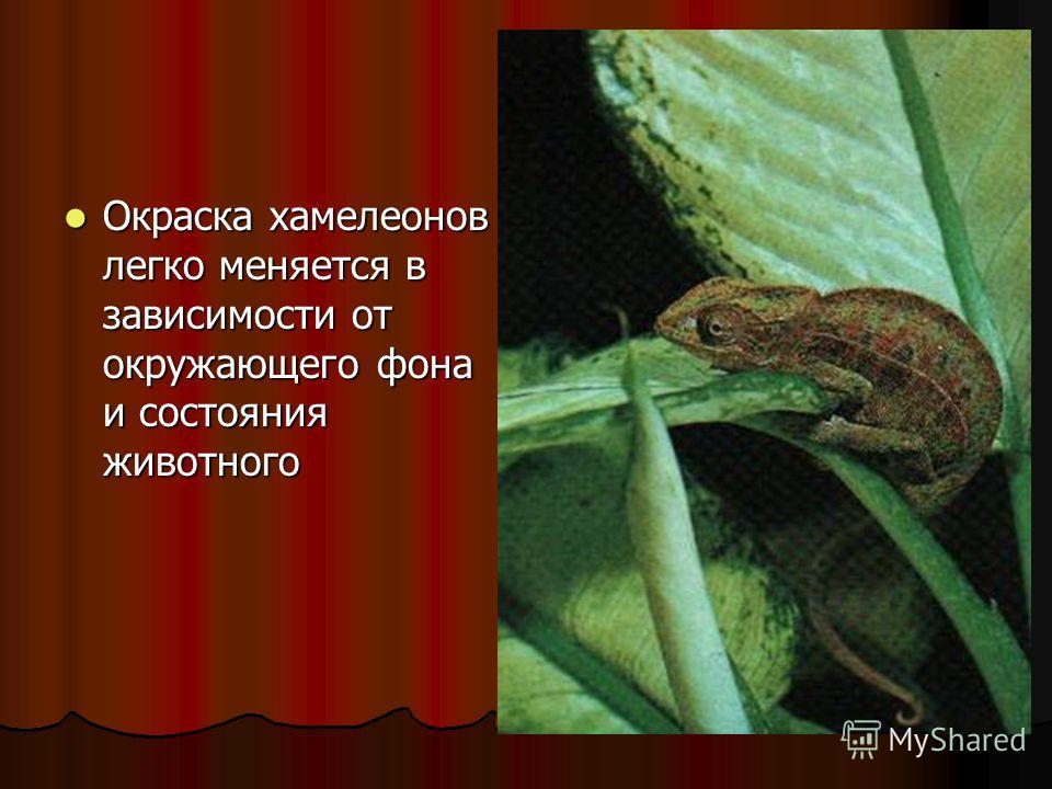 Окраска хамелеонов легко меняется в зависимости от окружающего фона и состояния животного Окраска хамелеонов легко меняется в зависимости от окружающего фона и состояния животного