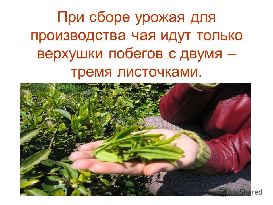 При сборе урожая для производства чая идут только верхушки побегов с двумя – тремя листочками.