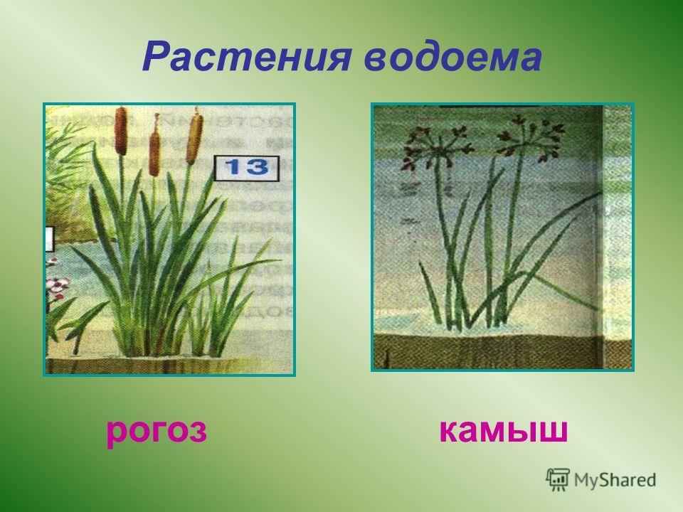 Растения водоема рогоз камыш