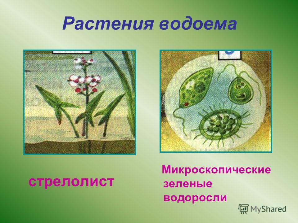 Растения водоема стрелолист Микроскопические зеленые водоросли