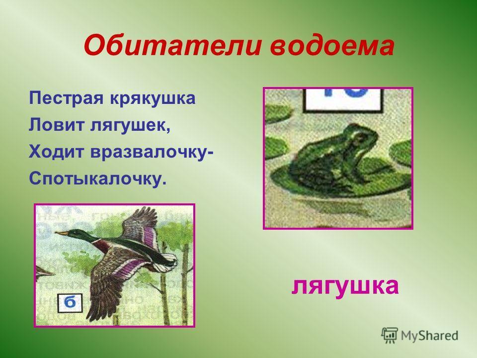 Обитатели водоема Пестрая крякушка Ловит лягушек, Ходит вразвалочку- Спотыкалочку. лягушка