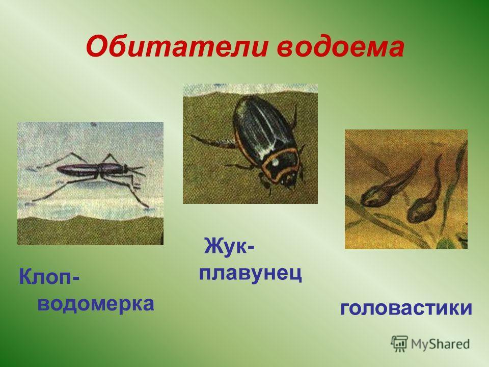 Обитатели водоема Клоп- водомерка Жук- плавунец головастики