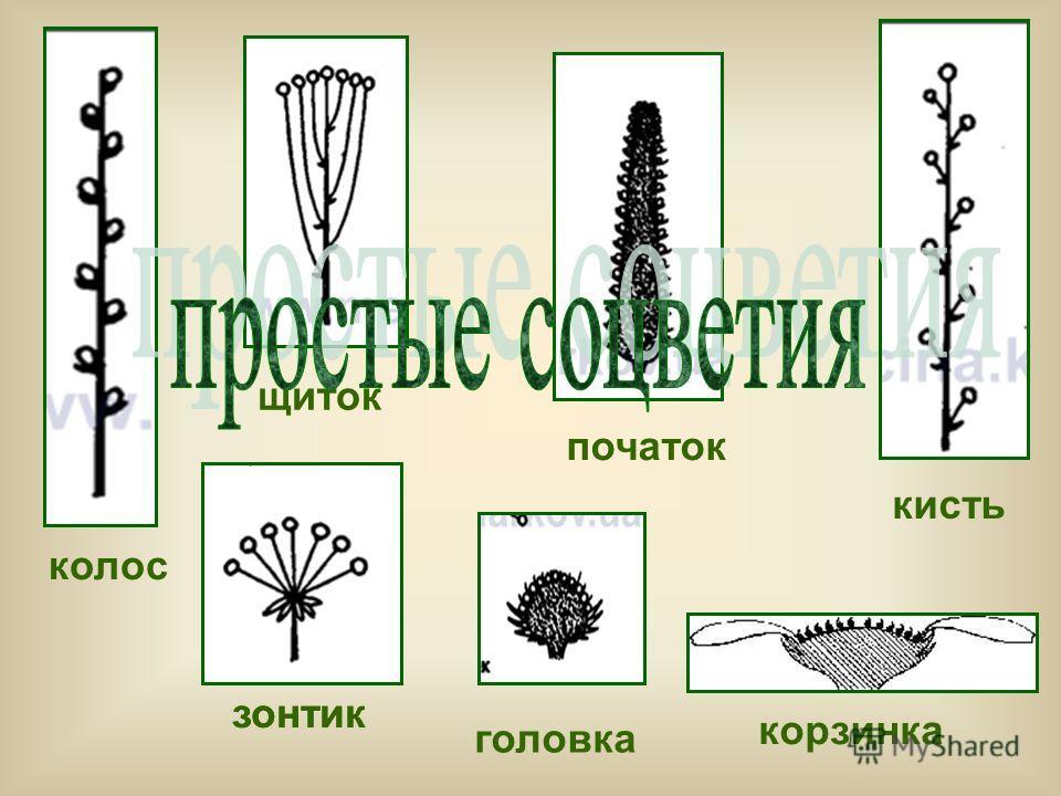 колос зонтик кисть початок щиток головка корзинка зонтик