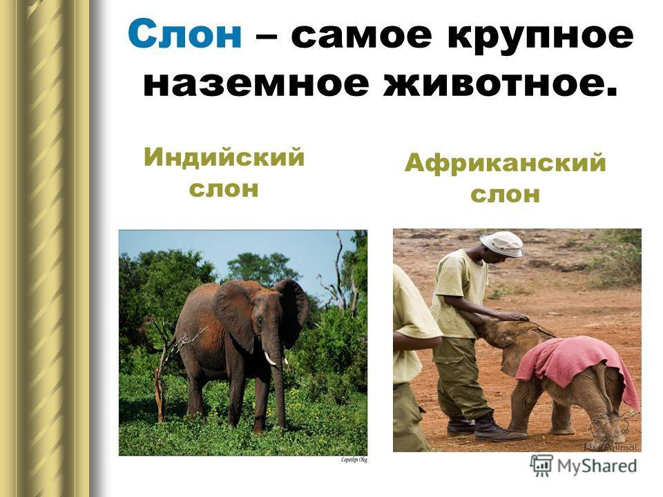Слон – самое крупное наземное животное. Индийский слон Африканский слон
